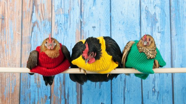 My chickens love their winter sweaters.