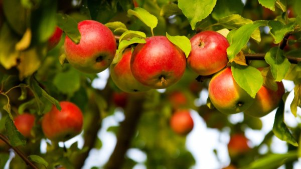 Background with apple tree